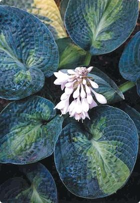 Hosta Blue Shadows:  leaves more rounded than most large.