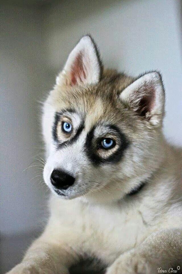 Good Dog Treats For Huskies