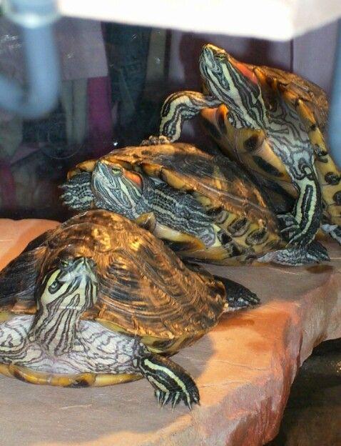 Aquatic turtles Turtle Town Pinterest