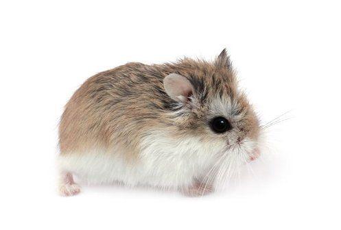 10 Most Popular Hamster Names Hamster names, Cute