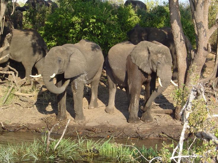 Elephant Safari - Botswana