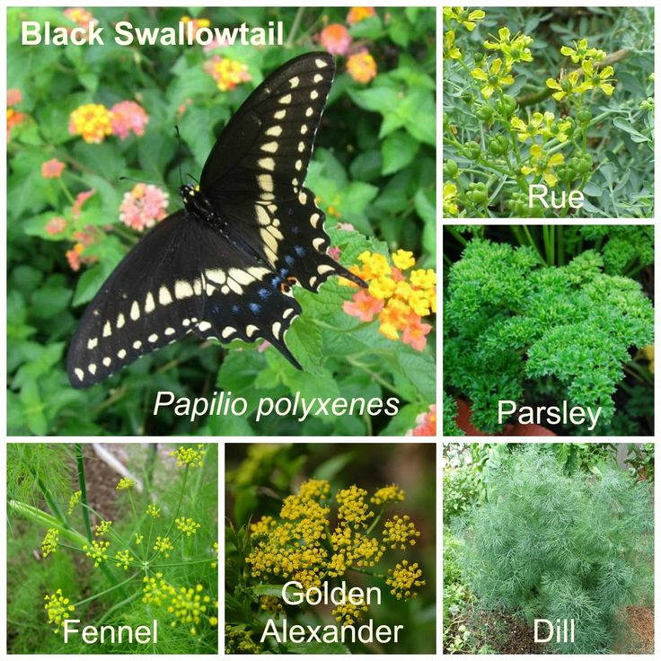 Eastern Black Swallowtail, Host Plants, caring for the caterpillar tips, environment, etc.