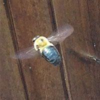 Carpenter Bee Exterminator in Rhode Island