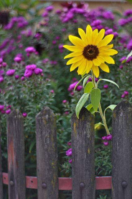 casamento tarcisio jardim:Country Fence with Sunflowers