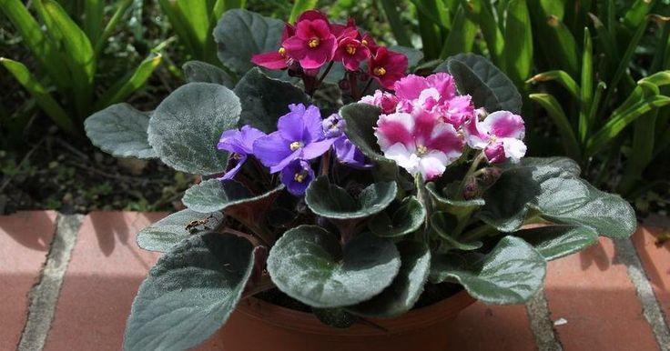Violetas mejor sembradas, cuidadas y, en definitiva, más bonitas