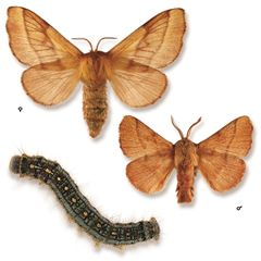 Forest tent caterpillar | Natural Resources Canada