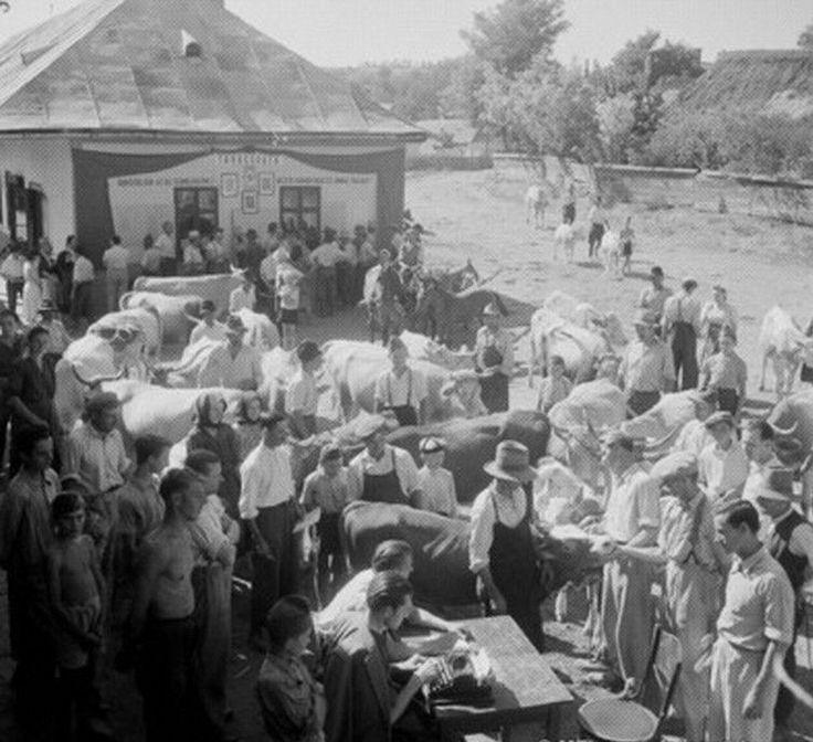 Az 1949-ben alakult Kossuth Tsz állatértékelő bizottsága átveszi az új belépők háziállatait. Megyaszó, 1952.