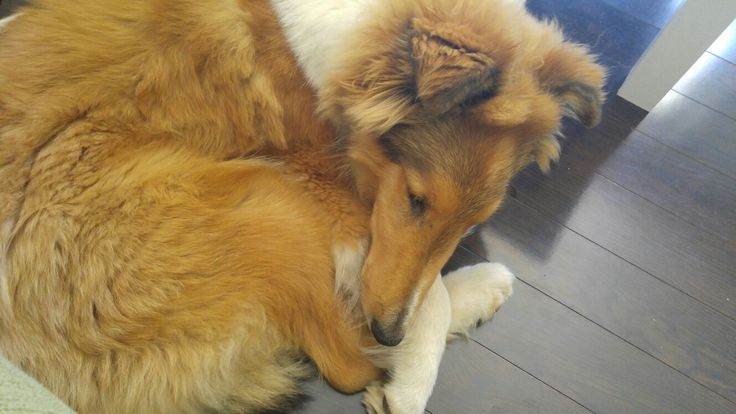 #roughcollie 5 months