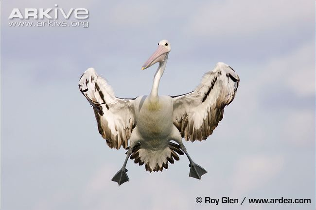 Funny pelican picture...Australian pelican braking in the air, coming to land