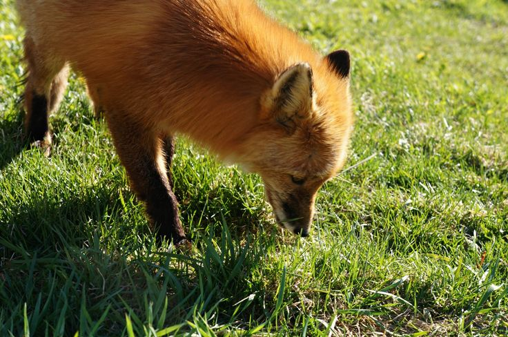 Foxes on Kalgin island, Alaska. Visit us to experience sustainable living and gourmet adventure