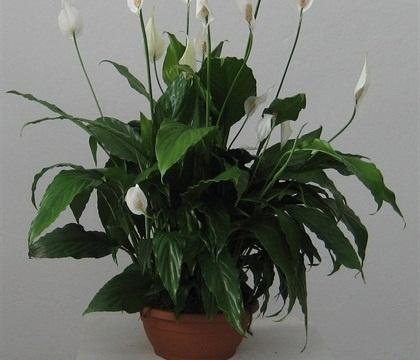 SPATHYPHILLUM CIOTOLA DIAM.25  Florpagano di Antonio Pagano (piante e fiori) www.florpagano.com