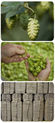 USA Hops - includes details about common cultivars
