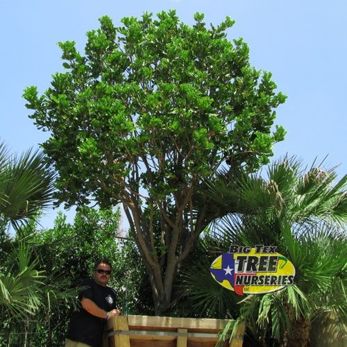 Carrotwood Tree Tex Trees Online Nursery Is The Largest With And Palms