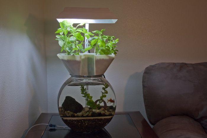 The goldfish garden at home aquaponics system for Aquaponics aquarium