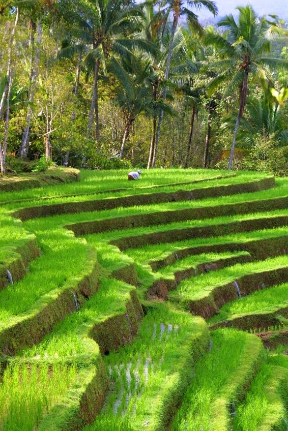 Indonesische rijstvelden