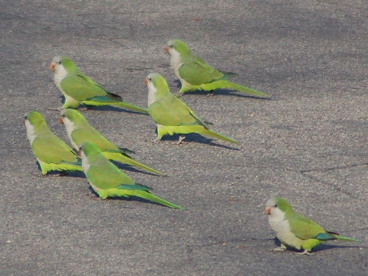 17 Best Images About Quaker Parrots On Pinterest Jfk