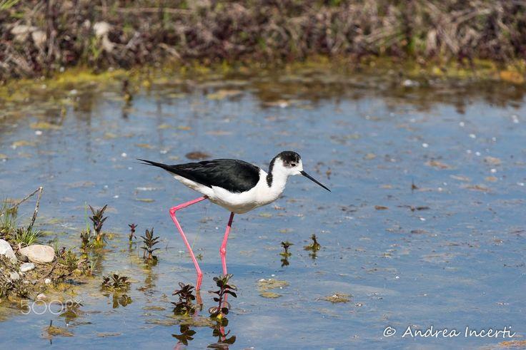 Black-winged stilt (Himantopus himantopus) - null