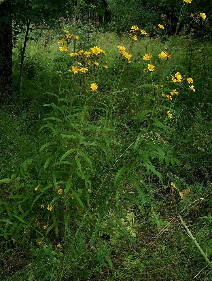 Ястребинка зонтичная (Hieracium umbellatum)