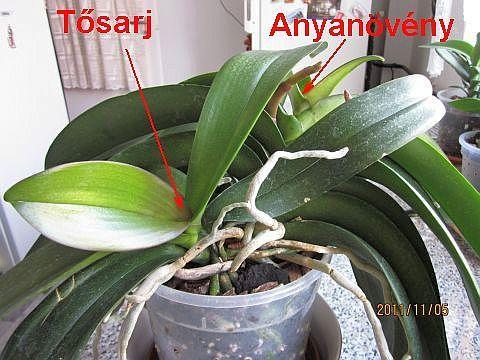 Orchidea sarjak leválasztása, elültetése - network.hu