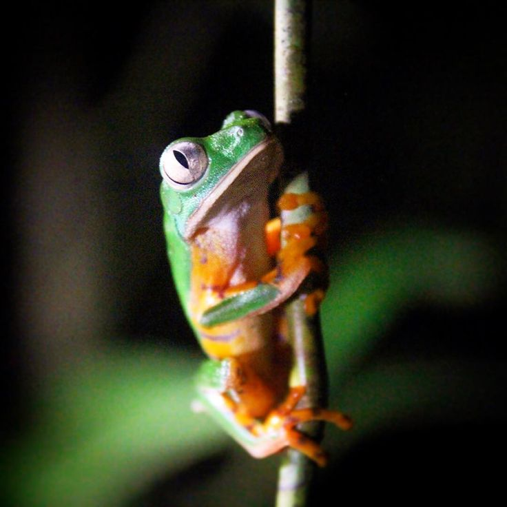 """Große Augen macht dieser kleine Frosch, als er bei seiner nächtlichen Klettertour entdeckt wird. Wie er werden im Amazonasgebiet viele weitere Tiere aktiv, sobald es dunkel wird. Seht die Doku """"Tierisches Nachtleben - In den überfluteten Wäldern von Amazonien"""" jetzt online auf ARTE.TV. Foto: © Jonny Keeling/Cleared for DVD/Music Publishing/DTO  #Frosch #frog #grenouille #Regenwald #rainforest #Amazonas #Nacht #night"""