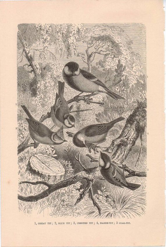 Hey, I found this really awesome Etsy listing at https://www.etsy.com/uk/listing/249968094/chromolithograph-of-birds-great-tit-blue