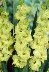 Gladioli Green Star - Corms