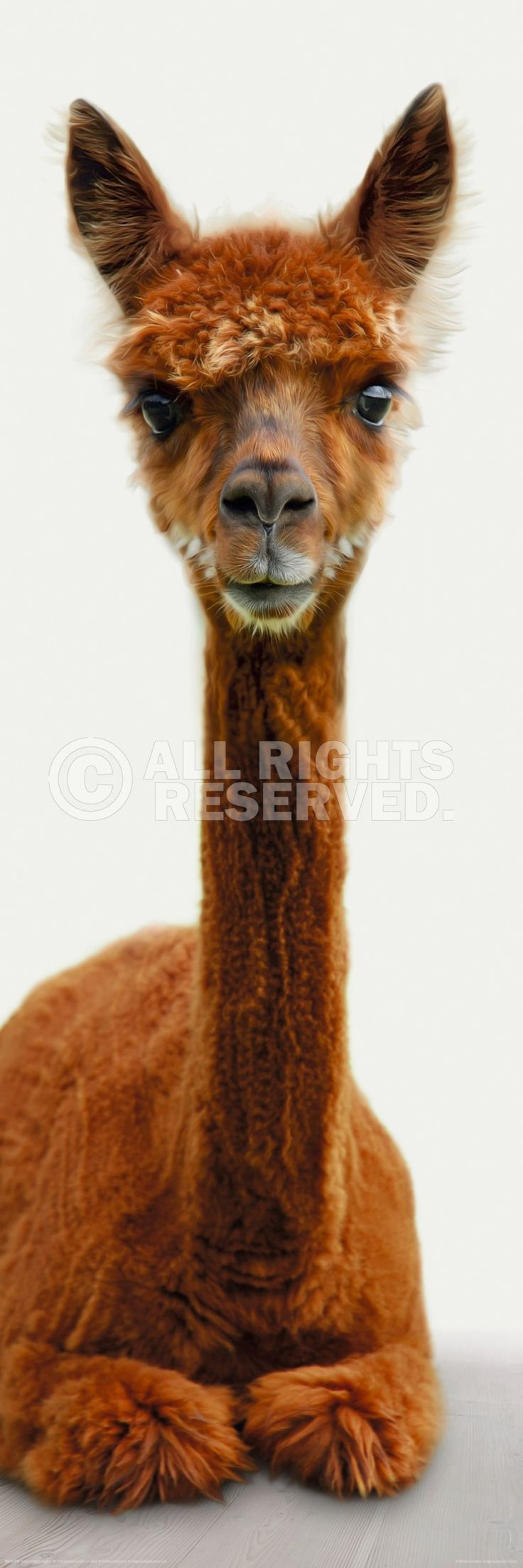 Poster 30x90cm: Alpaca is watching you. Bestel 'm nu @ reindersshop.com!