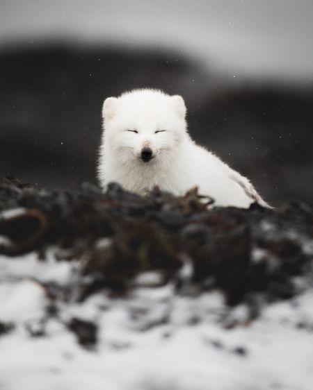 Arctic Fox by Gunnar Freyr G. - National Geographic Your Shot