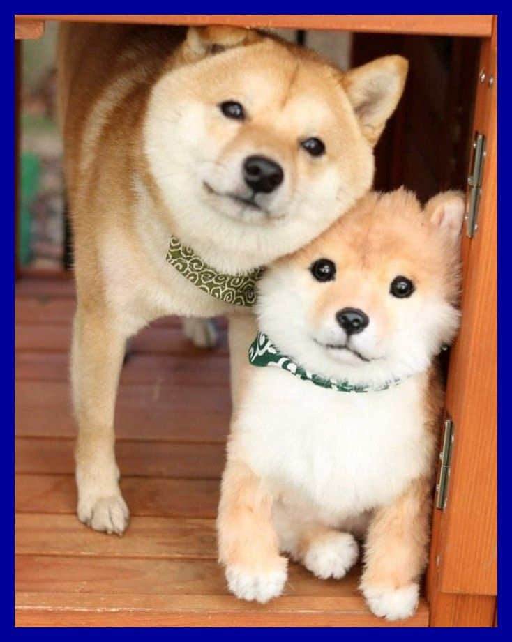 Shiba Inu Puppy Shiba Inu Welpe Shibainupuppy Shiba Inu Welpe Bichon Hund Susse Tiere