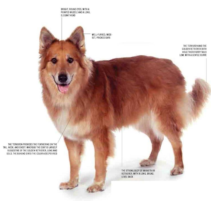 Pet Wiki - Dog Breeds Mutts Akita /Retriever Mix