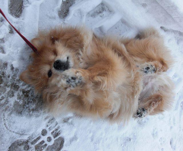 How you can participate into Pomeranian rescue