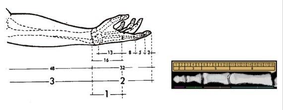 İnsanın parmak ucu ile dirseği arasındaki mesafe 8 ise, dirseği ile omuzu arasındaki mesafe 5′dir. Dirsek ile parmak ucu arasındaki mesafe 8 ise, bilekle parmak ucu arasındaki mesafe 5'dir. Parmağın kemikleri arasındaki büyüklük oranı 8, 5 ve 3 şeklinde dizilir.