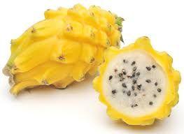 Yellow dragon fruit vine plant Pitaya hylocereus