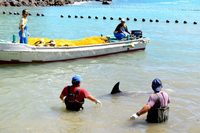 和歌山県太地町(たいじちょう)のイルカ追い込み漁で11日、今季初の水揚げがあった。1日に漁が解禁されたが、悪天候などで出漁見合わせや不漁が続いていた。 午前5時すぎ、町漁協に所属する太地いさな組合の…