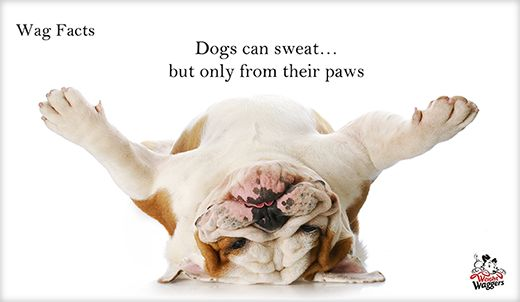 Weight Waggers - Check out our Wag Facts, some are funny, some you might already know, but there are plenty of new ones that you might not have even thought about. weightwaggers.org #dog #fact