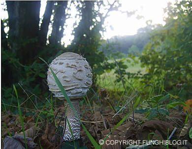 Cosa fare se si trova una mazza di tamburo ma il fungo non │ ancora aperto completamente