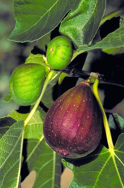 The fig (Ficus carica) is a third icon of the edible Mediterranean garden. Though fig trees thrive in hot, dry places like Italy and California, it's possible to grow them in a wide range of climatic zones. The variety pictured here, called 'Brown Turkey', is one of the best choices in the more humid eastern half of the country.