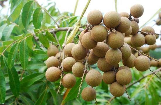 Cara Mudah Budidaya Buah Lengkeng - http://caramenanam.net/cara-mudah-budidaya-buah-lengkeng/