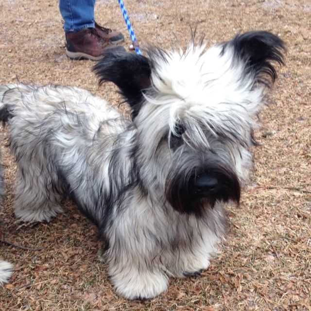 The precious Joy!  Skye Terrier puppy at 8 months old!
