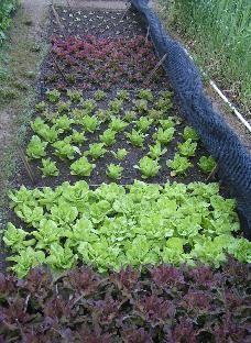 Biointensive Gardening Using John Jeavonu0027s Method.
