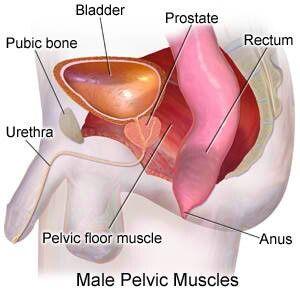 Male Pelvic Muscle: