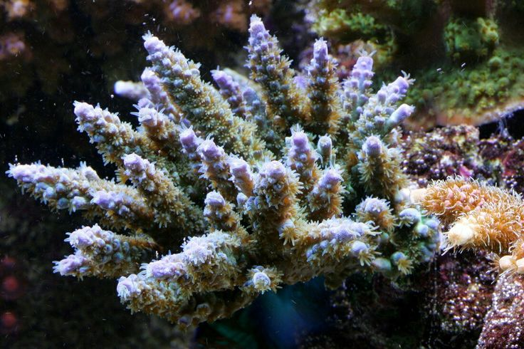 Acropora uploaded by Reef2Land.com Aquarium Supplies