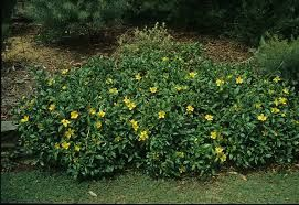 hibbertia scandens  option for screening as it can be a climber