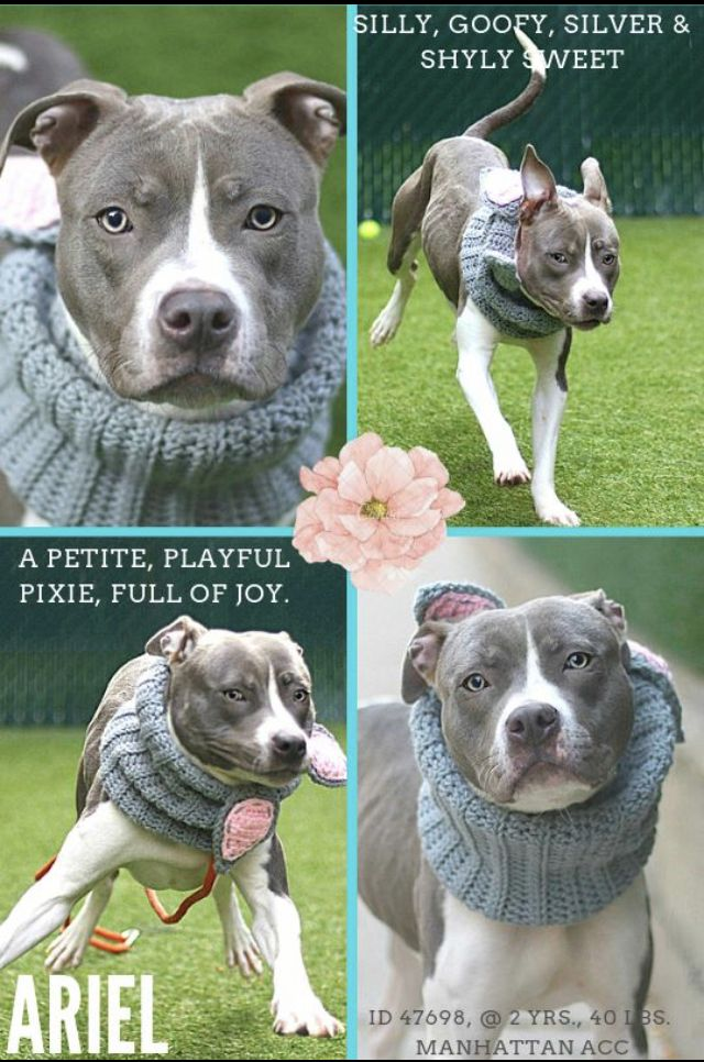Ariel Adopted 11 2018 Needs Help Pitbull Terrier
