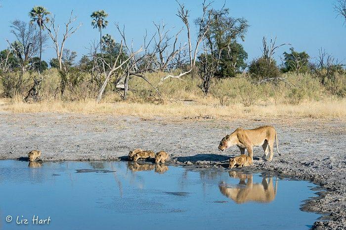 The family that drinks together... #OkavangoDelta