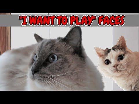Playful Facial Expressions Of Cats Bowie The Ragdoll Cat Bella Lambkin Kitten Playful Facial Expressions In 2020 Ragdoll Cat Kittens Funny Pugs Funny