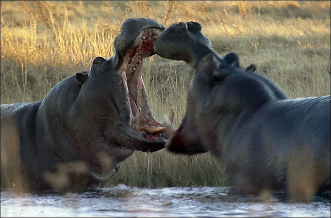 Hippo Facts (Habitat and Diet)