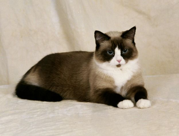 siamese cats | The snowshoe cat breeding program was eventually adopted by fellow ...