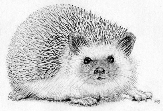 Hedgehog  original pencil drawing in cream by TheKestrelAndTheSea
