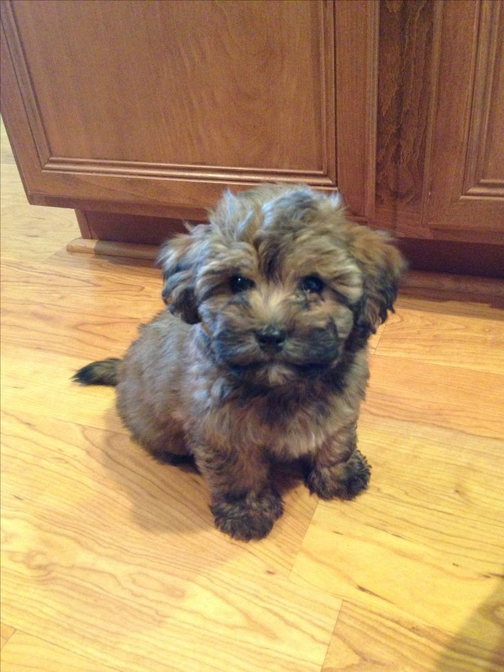 Havanese Poodle mix. Havapoo?! haha.  Okay adorable :) Somebody get me a freakin puppy!!!